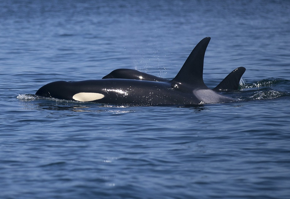 Southern resident orcas from J pod, seen in inland waters for the first time since July 6, on Aug. 15, 2019, near Lime Kiln Point off San Juan Island. (Image taken under authority of NMFS permit No. 22141)