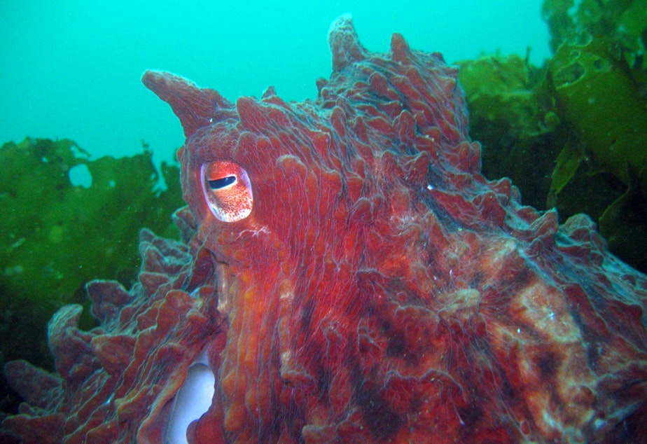 caption: The giant Pacific octopus can change colors when disturbed or excited.