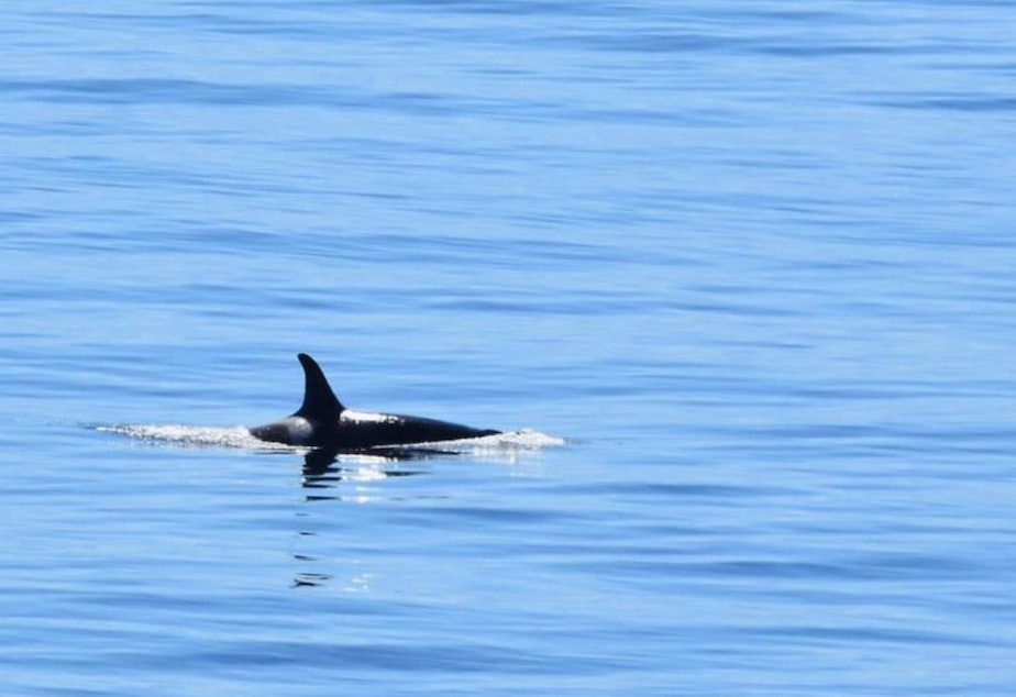 caption: Orca J19, a 41-year-old grandmother and the second oldest member of J pod, surfaces in Haro Strait, west of San Juan Island, on Sept. 1, 2020.