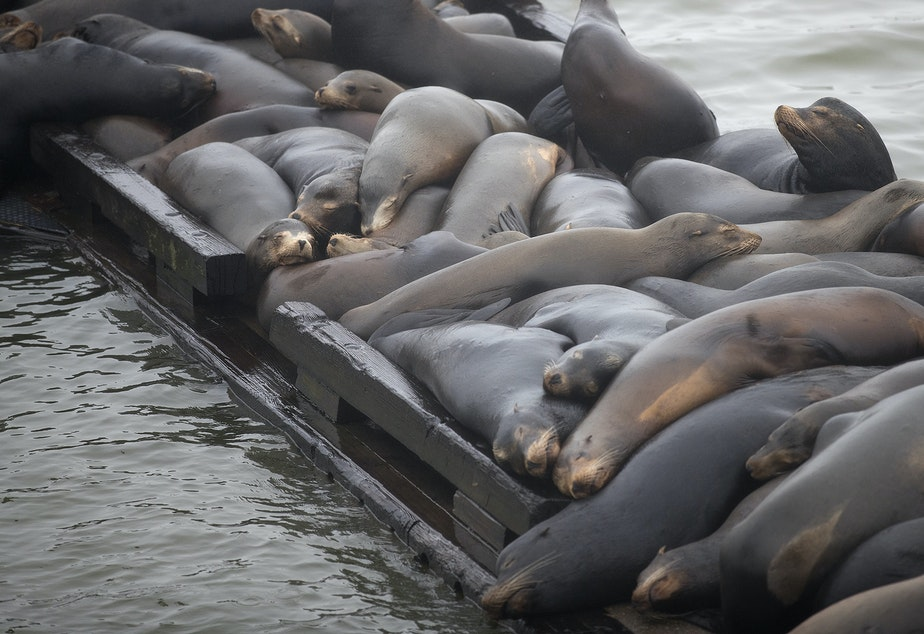 caption: Sea lions are piled up on a dock on Thursday, April 11, 2019, near the East Mooring Basin Boat Ramp in Astoria, Oregon.