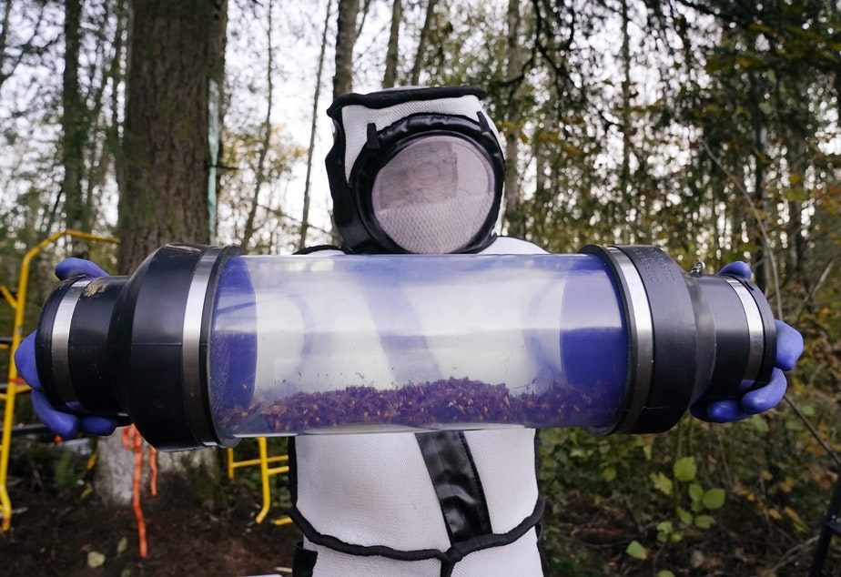 caption: Sven Spichiger, Washington State Department of Agriculture managing entomologist, displays a canister of Asian giant hornets vacuumed from a nest in a tree behind him Saturday, Oct. 24, 2020, in Blaine, Wash.