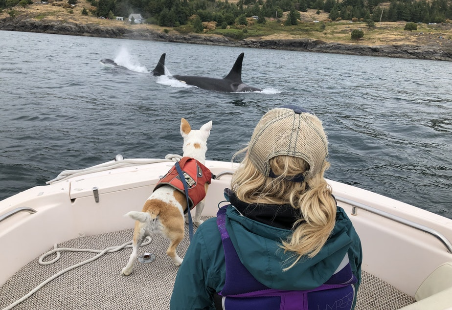 caption: Eba getting a close up view of orca in Puget Sound. Orca poop will float for up to 30 minutes. That is how Eba is able to smell it on the surface of the water.