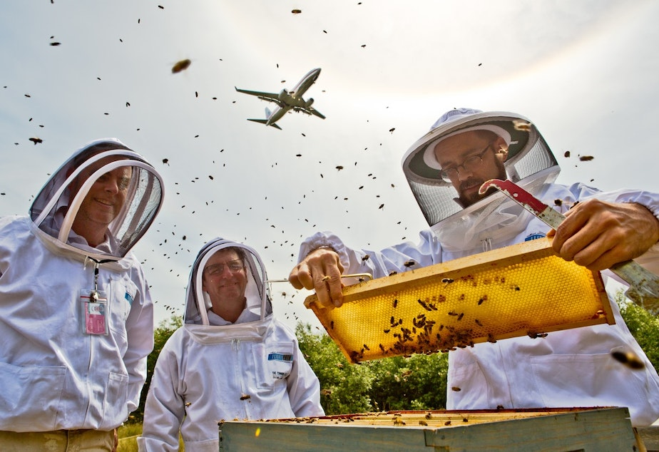 caption: Beekeepers manage hives at Sea-Tac airport as a plane flies overhead.