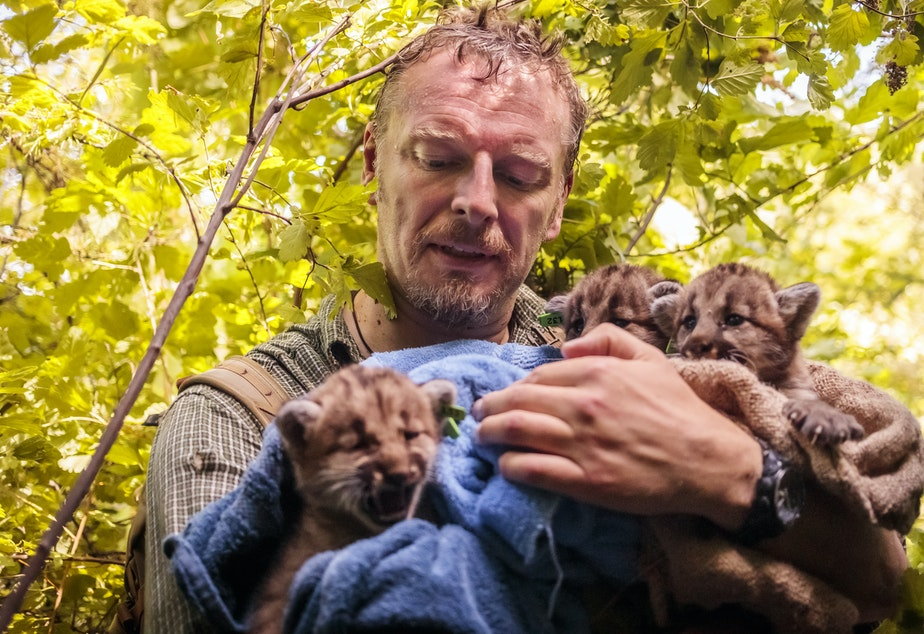 caption: Host Chris Morgan holds cougar cubs in the Alpine Lakes Wilderness near Snoqualmie Pass in Washington state.