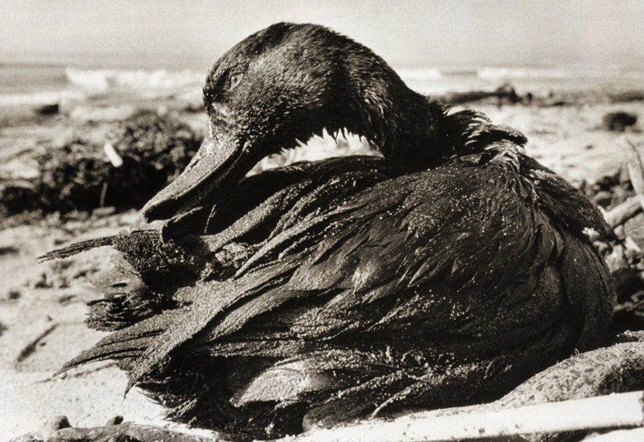 A duck covered in a thick coating of crude oil, picked up when it lighted on waters off Carpinteria State Beach in Santa Barbara County, Calif., after the oil spill in January 1969. CREDIT: BETTMANN/GETTY IMAGES