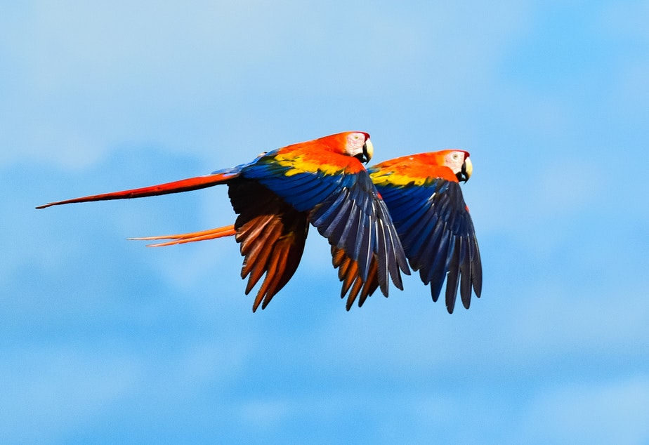 caption: Two Scarlet Macaws fly together.