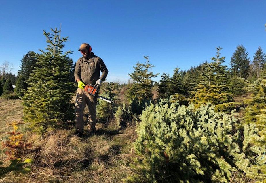 caption: <p>Grant Robinson cuts pesticide-free Christmas trees on a farm near Molalla, Ore.</p>