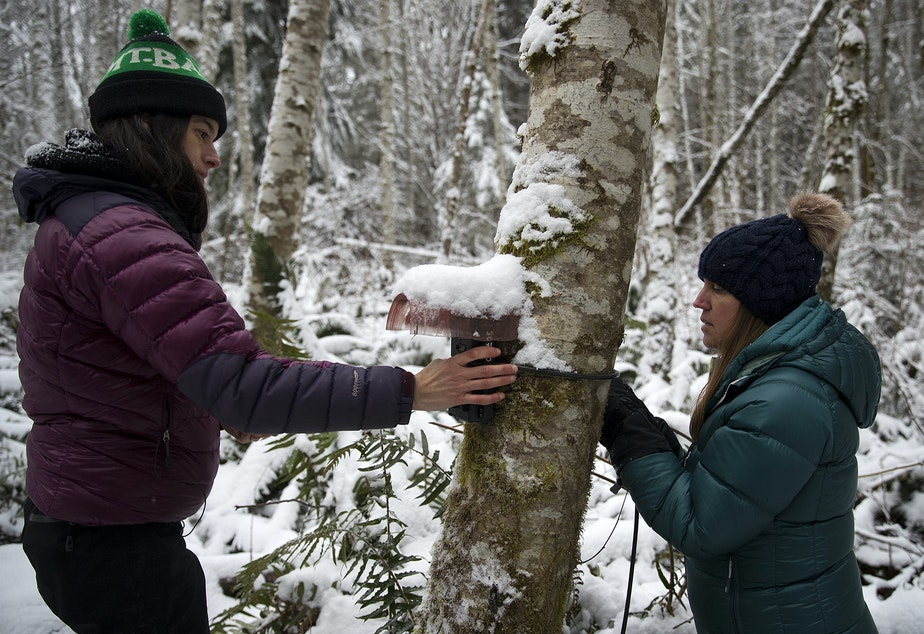 caption: Sara Cendejas-Zarelli, left, a Project Biologist with the Lower Elwha Klallam Tribe, and Kim Sager-Fradkin,  Wildlife Program Manager with the Lower Elwha Klallam Tribe, check on the footage collected by one of the cameras in the grid network on Monday, January 13, 2020, outside of Port Angeles.