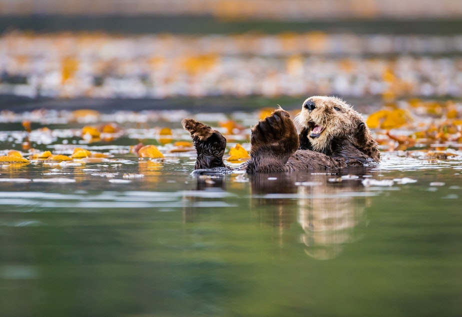 caption: A sea otter in the waters off Vancouver Island