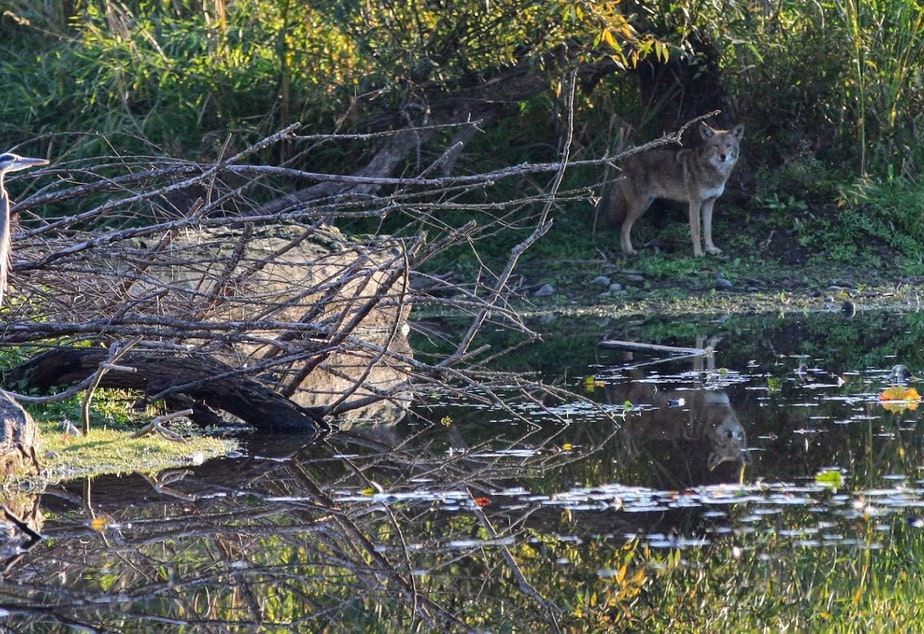 A coyote and a great blue heron on the banks of a nature preserve in Lake Washington. This coyote is believed to be a surviving pup from a family group of coyotes that was killed in Laurelhurst in 2016.