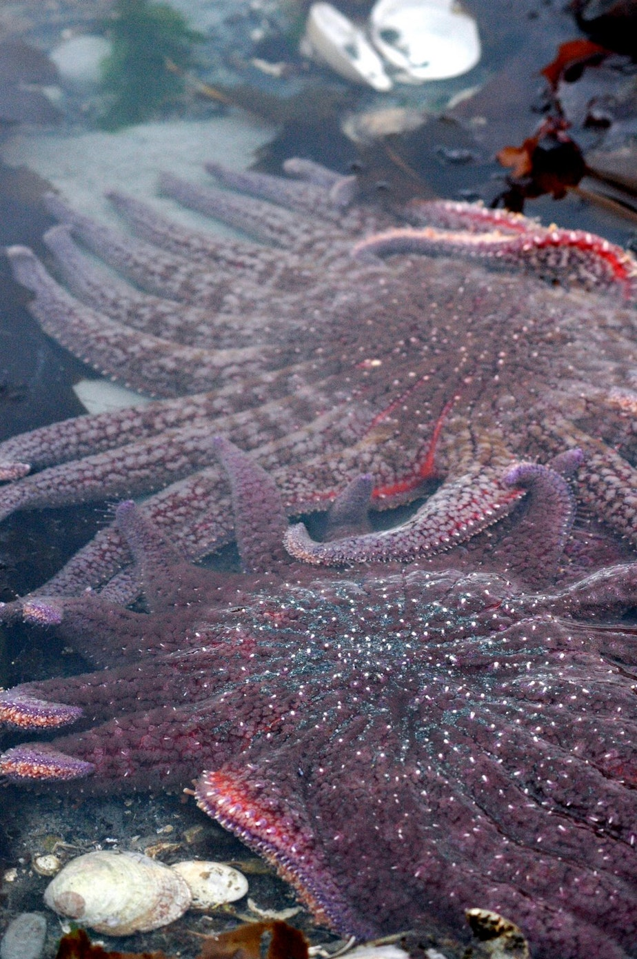 caption: Healthy sunflower stars off Alaska's Admiralty Island in 2008