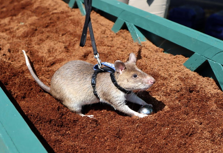 An African giant pouched rat named Mona Lisa sniffed out her target at the Pt. Defiance Zoo in Tacoma. Thankfully, it was filled with nutmeg instead of TNT.
