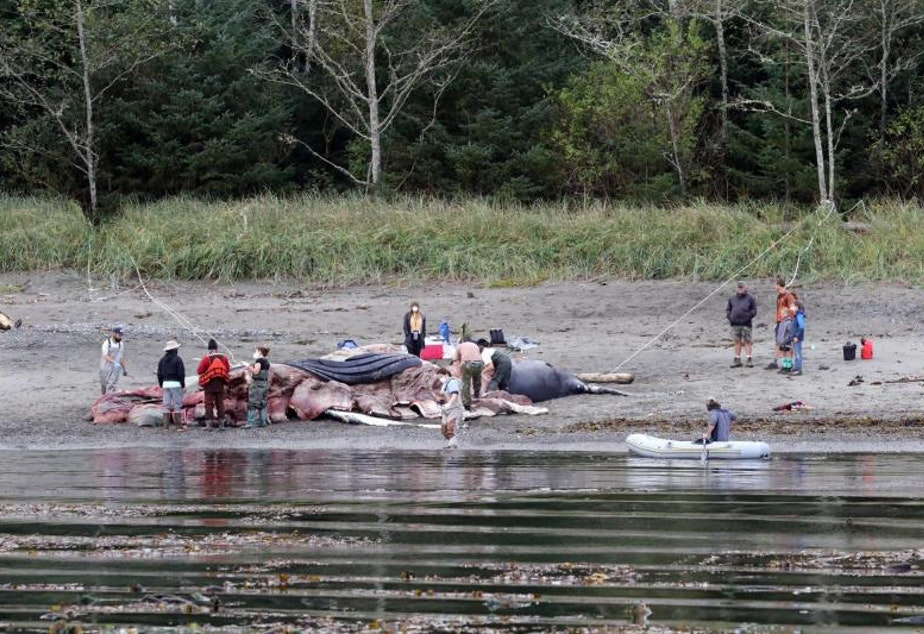 caption: Locals look on as masked scientists conduct a post-mortem on a humpback whale near Sekiu, Washington, on Oct. 4. The whale had suffered blunt trauma, possibly a ship strike, to the head.