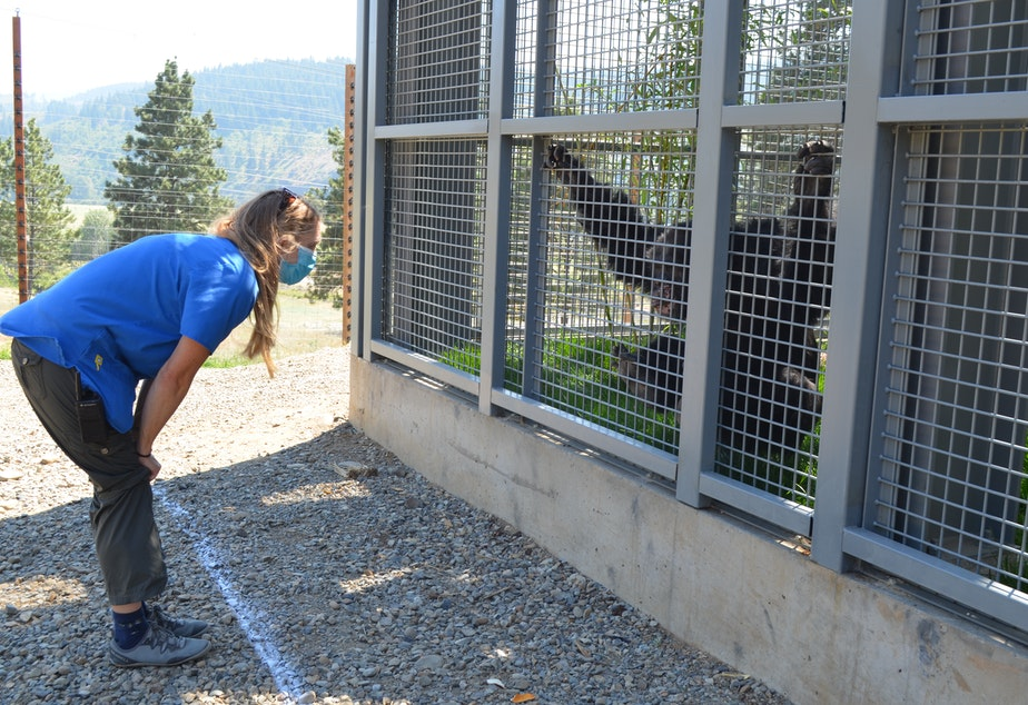 caption: Chimp Sanctuary Northwest co-director Diana Goodrich visits one of the six chimps that arrived in late June.