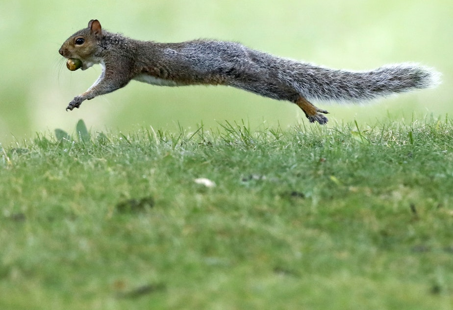 A woman who boarded her Frontier flight with an emotional support squirrel (not this one) was escorted off the plane on Tuesday.