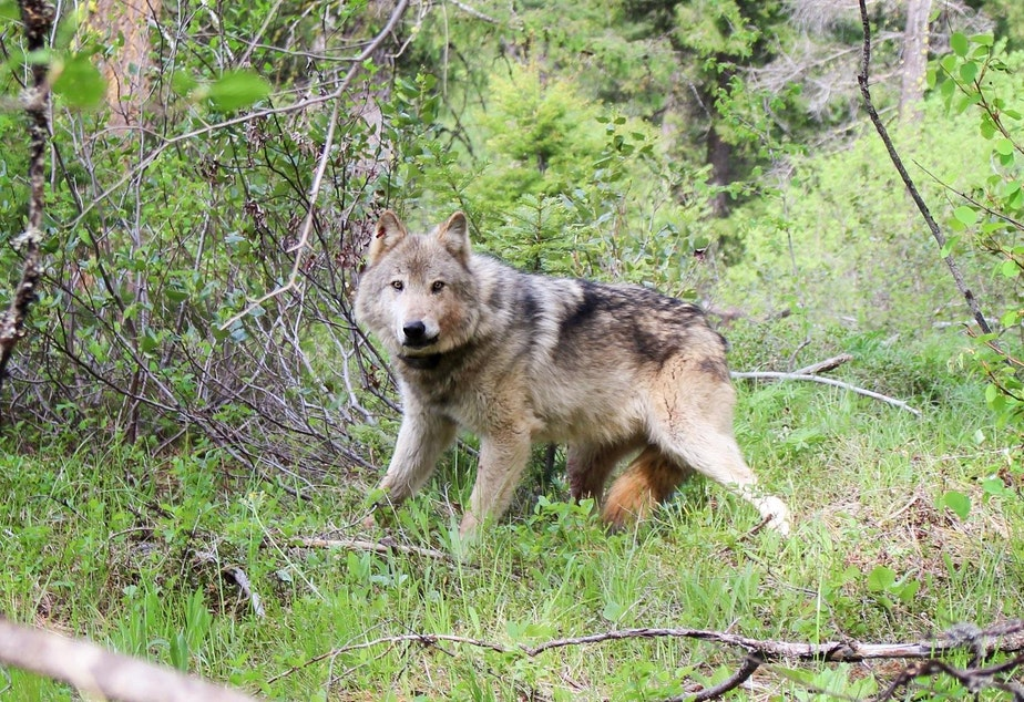caption: A gray wolf in the Teanaway pack in central Washington.