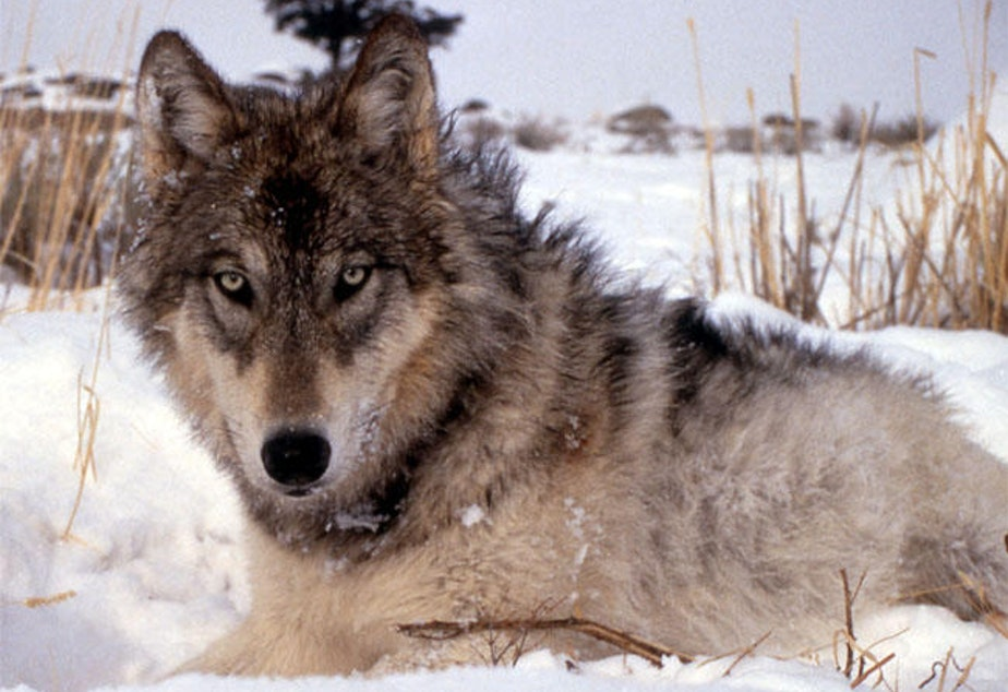 caption: File photo of gray wolf