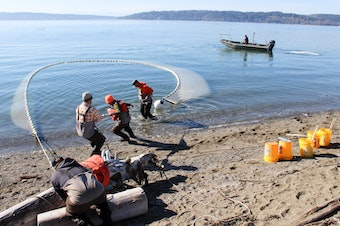 "Tribal researchers haul in a ""beach seine"" net on Skagit Bay."