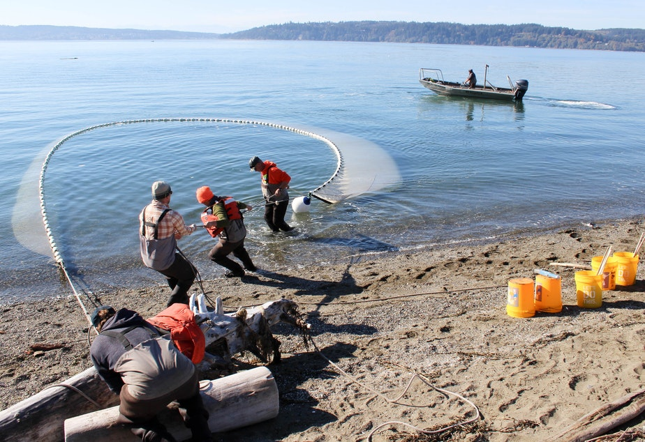 """Tribal researchers haul in a """"beach seine"""" net on Skagit Bay."""