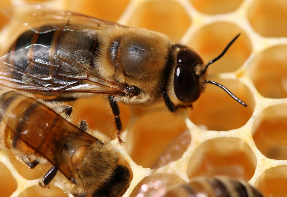 caption: Drone honeybees use their eyes to find queen bees for mating