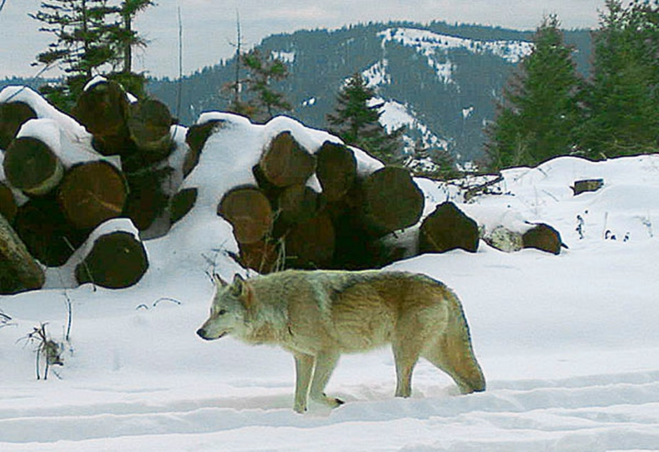 The breeding female of the Walla Walla Pack in northern Oregon's Umatilla County. A University of Washington researcher says the number of wolves in adjacent Washington state is likely much higher than estimates. CREDIT: OREGON DEPARTMENT OF FISH AND WILDLIFE/AP