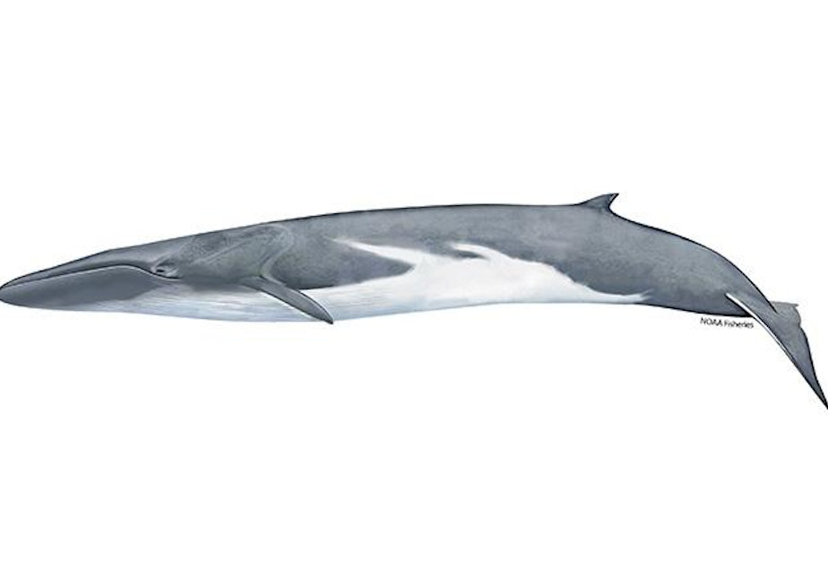 caption: A fin whale, the world's second largest animal