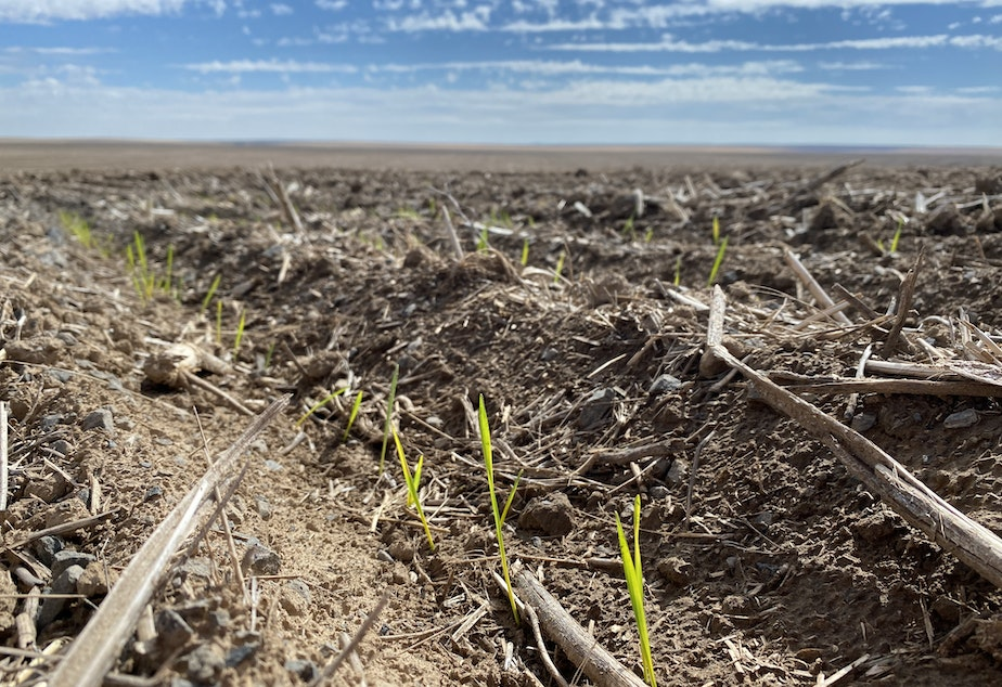 """caption: Some Northwest farmers have """"dusted in"""" their winter wheat seed already, while others have waited as long as they could for more moisture. Usually they'd use drills to plant the seeds up to 6 inches deep."""
