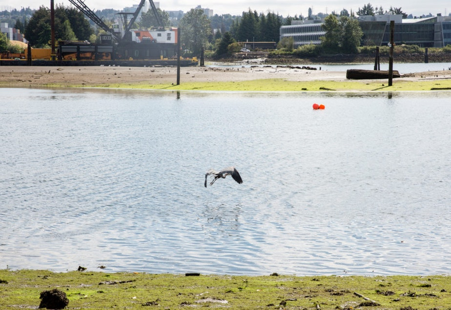 A blue heron takes off from the Herring's House Park and flies toward the Kellogg Island on the Duwamish River.