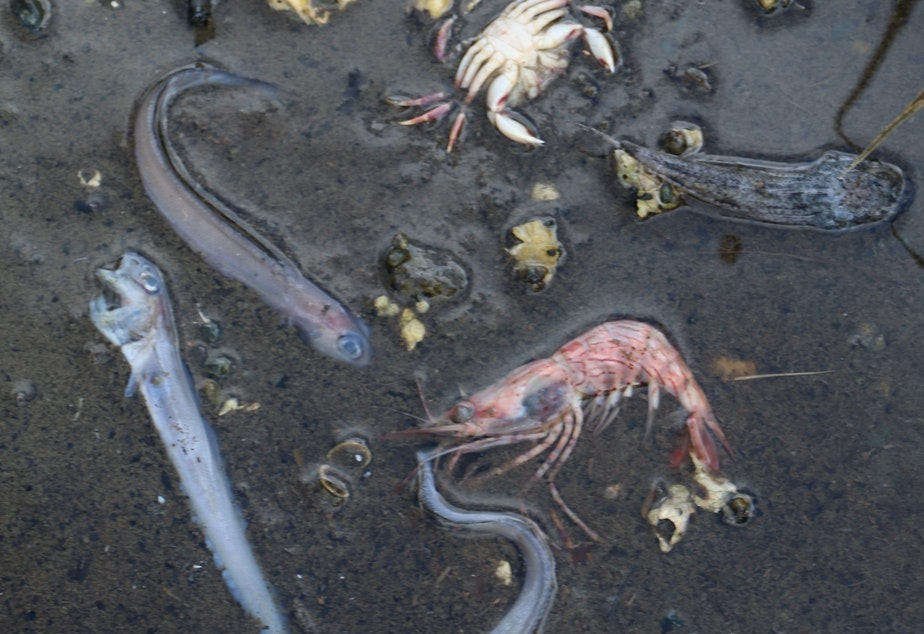 caption: Crabs, shrimp and fish lie dead in shallow water near Potlatch State Park along Hood Canal on Sunday, Aug. 30, 2015.
