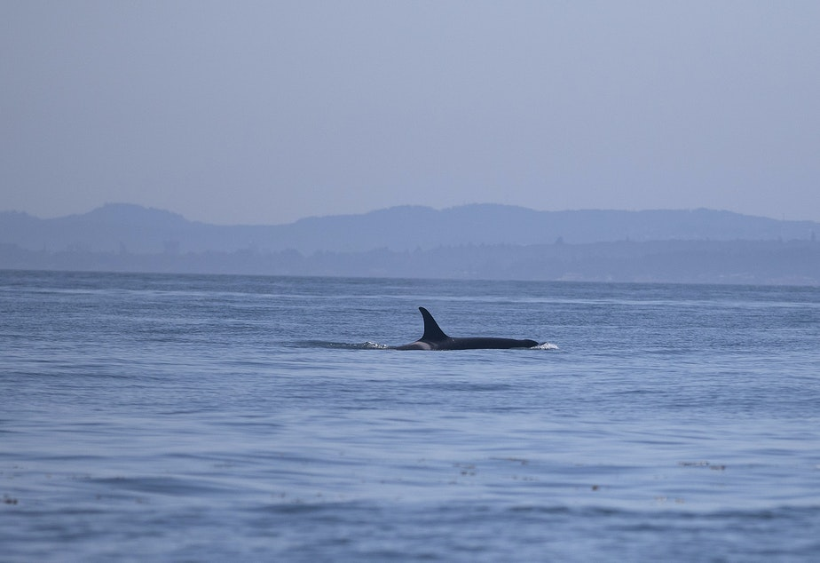 A southern resident orca from J pod, seen in inland waters for the first time since July 6, on Aug. 15, 2019, near Lime Kiln Point off San Juan Island. (Image taken under authority of NMFS permit No. 22141)