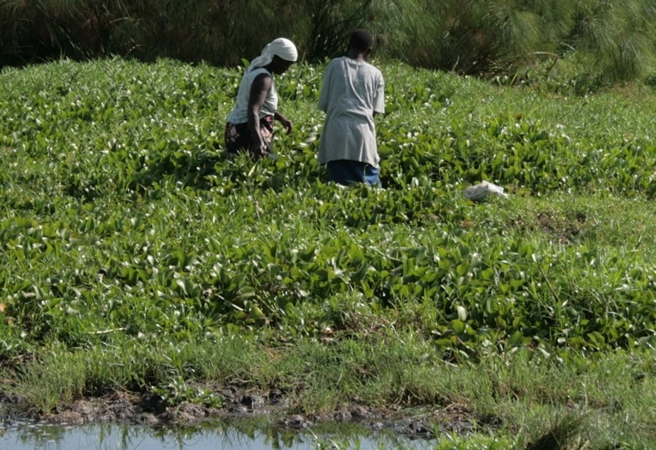 caption: Lake Victoria taken over by the water hyacinth.