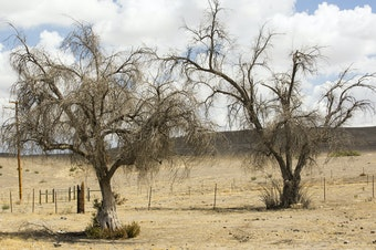 As the climate warms, drought is killing large numbers of trees in California. Scientists are looking to the past to try and understand how the ecosystems of today may be changing.