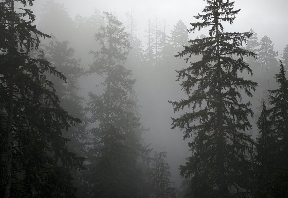 caption: Trees seen through fog on Friday, April 5, 2019, in the Hoh Rainforest on the Olympic Peninsula.