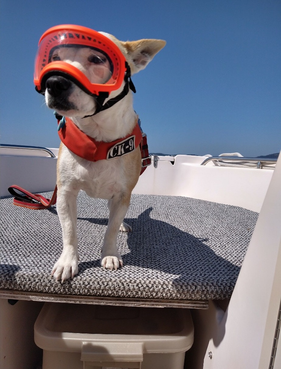 caption: Conservation canine Eba on Deborah Giles' research boat off San Juan Island in August