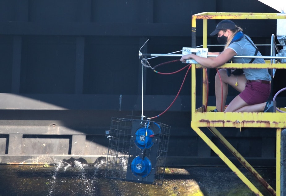 caption: Laura Bogaard spent more than a month on a platform overlooking the Ballard Locks, monitoring how seals were responding to a new device designed to startle them away from the fish ladder.