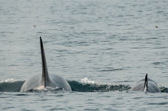 J50/Scarlet and her mother, J16/Slick, travel toward the west side of San Juan Island, Wash., on Aug. 18, 2018.