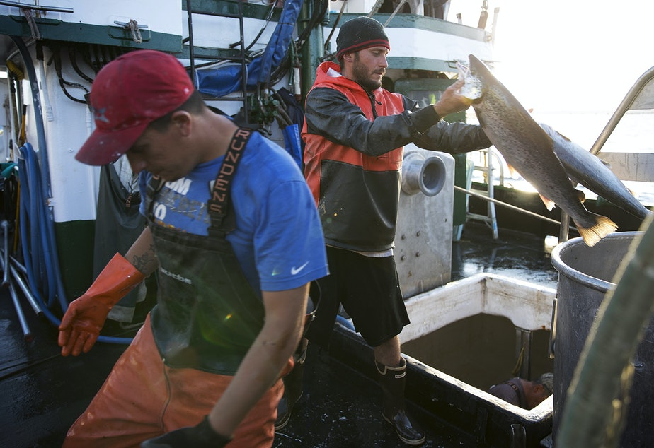 caption: Nathan Cultee, right, and Nicholas Cooke, left, unload Atlantic salmon aboard the fishing vessel Marathon outside Home Port Seafoods on Tuesday in Bellingham.