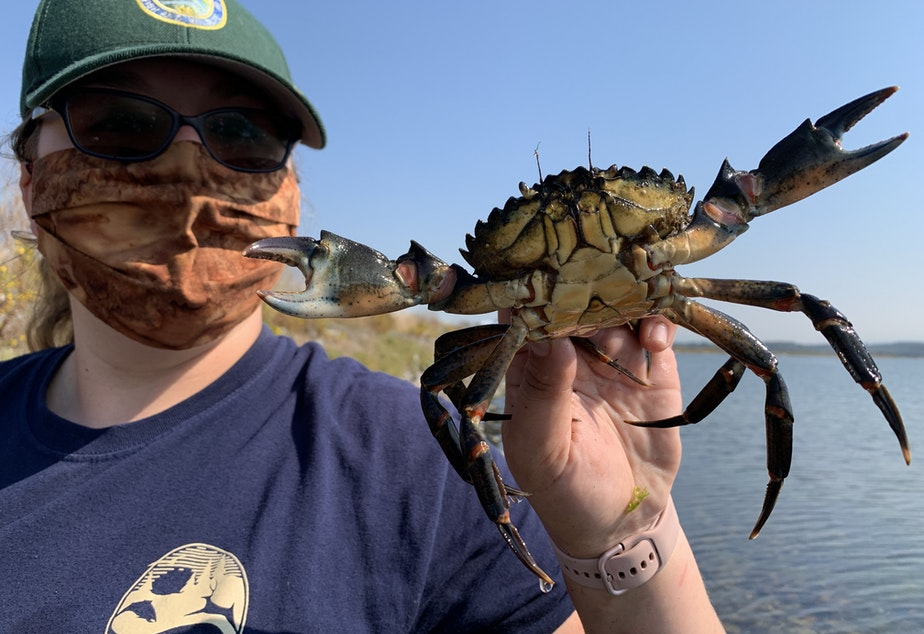 caption: Washington Department of Fish and Wildlife technician April Fleming holds a European green crab captured in Lummi Bay in September.