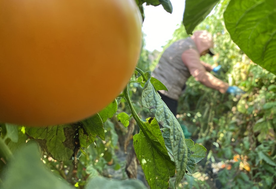 caption: Maria de Luz Freire, 55, of Pasco, picks the last few heirloom tomatoes in a jungle of vines just outside of Eltopia, Washington. Tomatoes on this farm didn't flower, or dropped their blooms for about a month after this summer's major heat event.