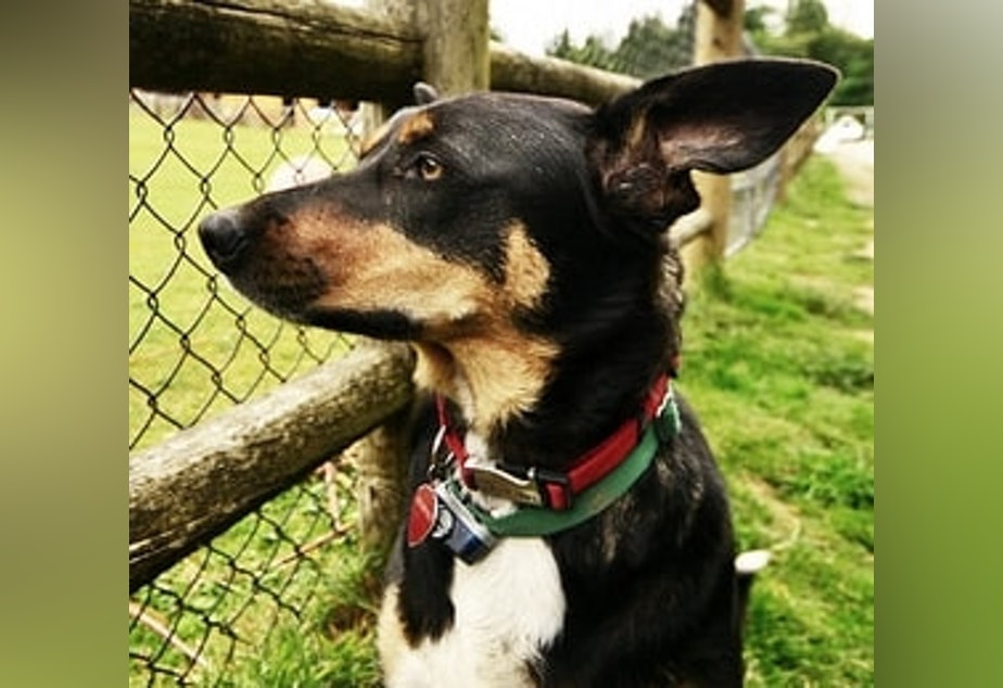 Ranger, the dog, came to live at Sammamish Animal Sanctuary