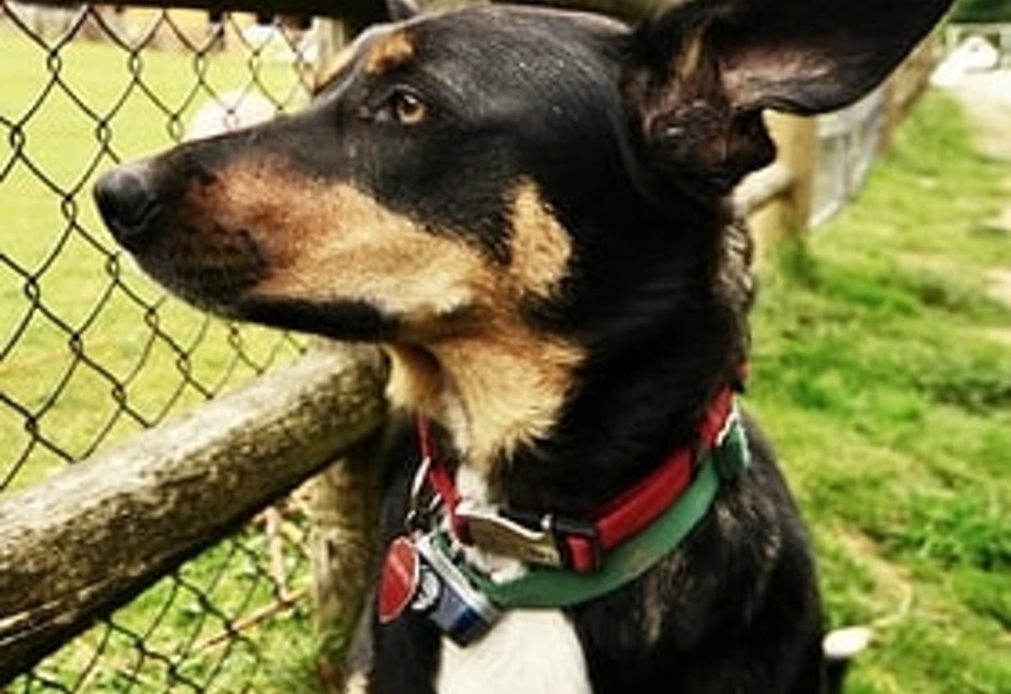 caption: Ranger, the dog, came to live at Sammamish Animal Sanctuary