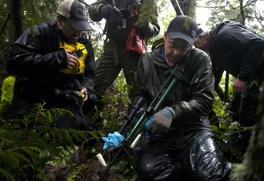 caption: Mike Sheldon, a wildlife technician with the Lower Elwha Klallam Tribe, prepares to use a dart gun to tranquilize Moses, a 6.5 or 7-year-old male cougar, on Wednesday, January 29, 2020, on the Olympic Peninsula.