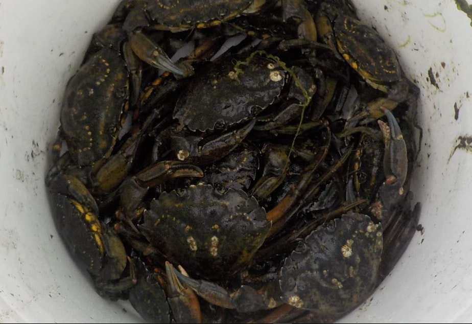 caption: 20 green crabs, the contents of a single trap, emptied into a 5-gallon bucket along the Tsoo-Yess River on the Makah reservation in July 2020.