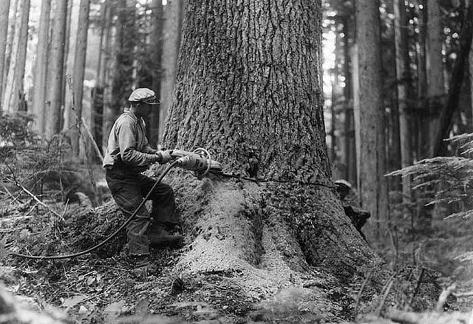 caption: A logger fells a noble fir in 1943 in Snoqualmie National Forest. A long butt is the lower end of a tree discarded by loggers because of a defect, according to the Dictionary of American Regional English.