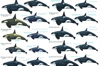 Killer whales of the world.