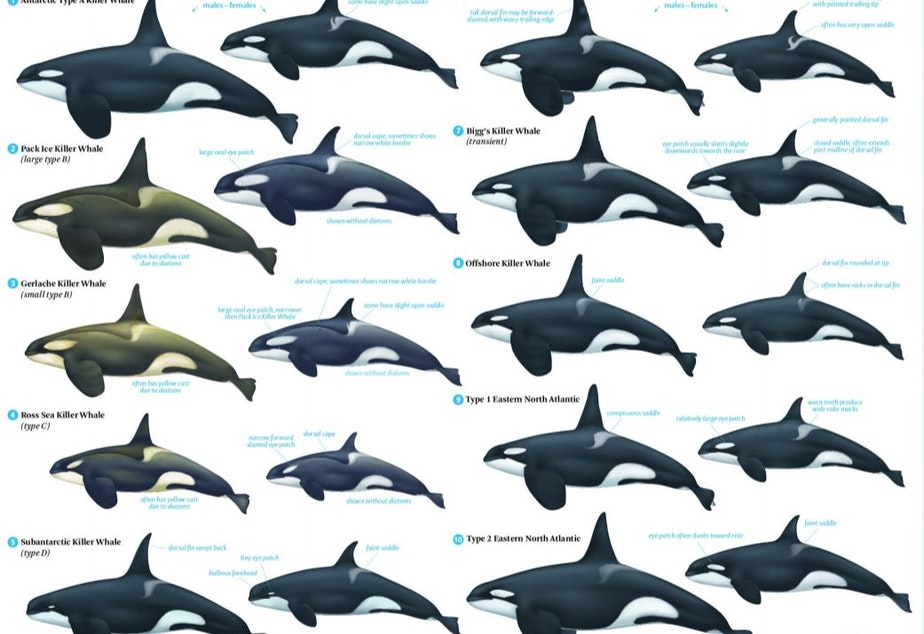 caption: Killer whales of the world.