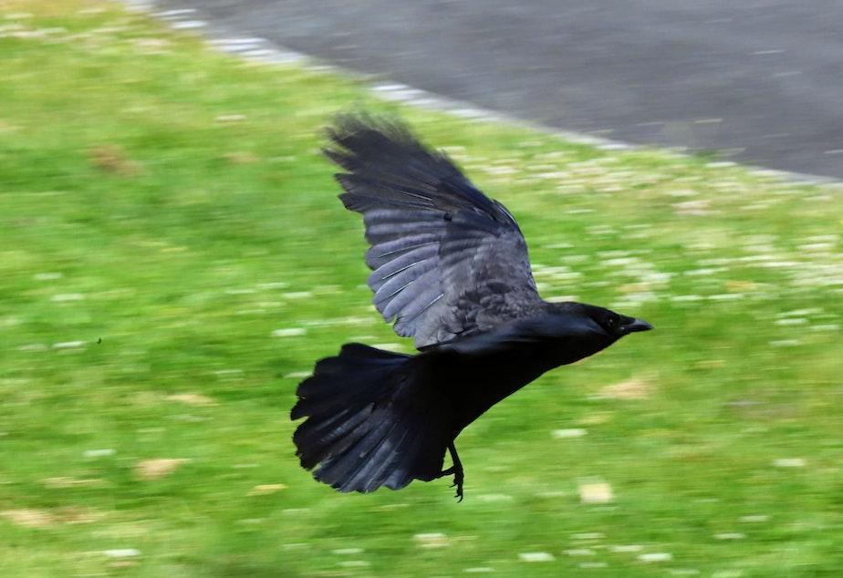 caption: A crow flying near Seward park in Seattle.