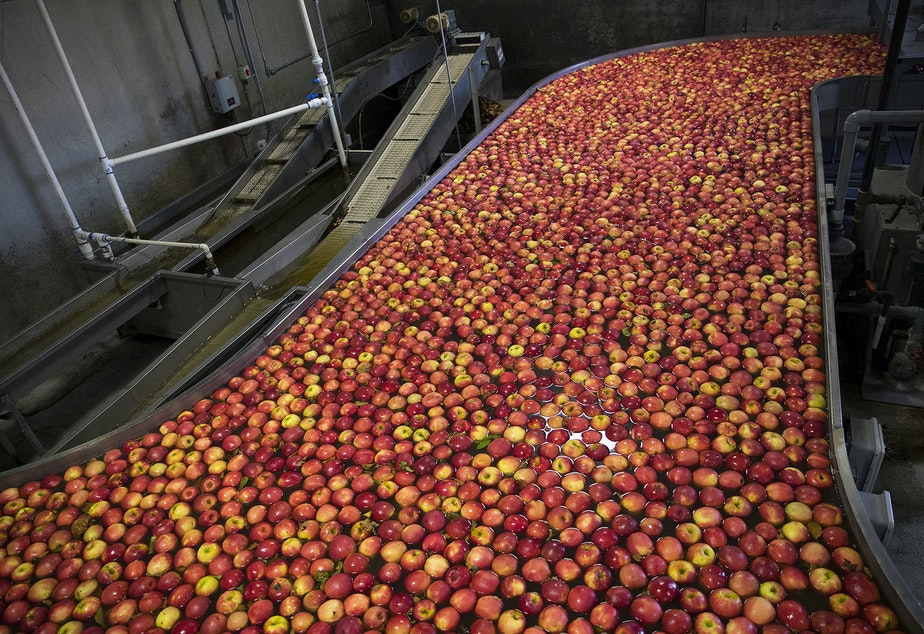 Apples flow through the front end of the packing line known as the flume on Tuesday November, 20, 2018 at Gilbert Orchards in Yakima.
