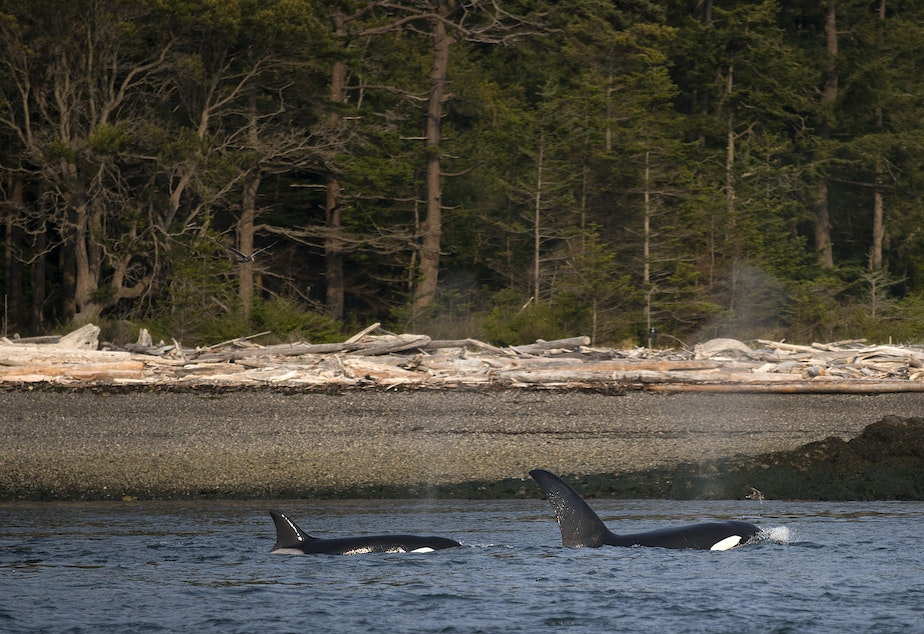 caption: Two transient orcas surface and exhale together in August 2018. (Image taken under authority of NMFS Permit No. 18786-03)