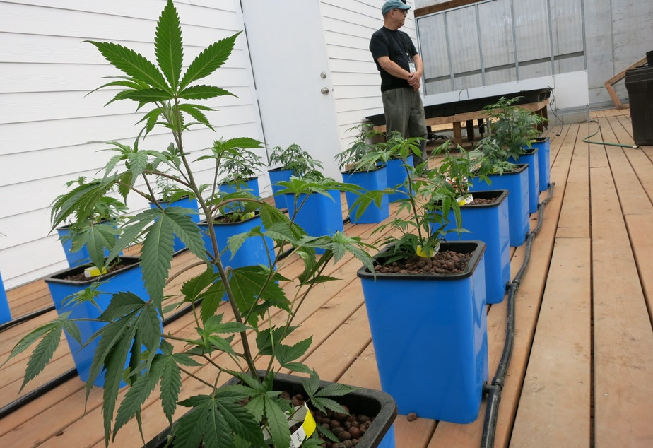 caption: Marijuana plants growing at Seattle's first legal pot farm, Sea of Green.